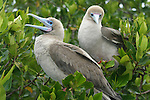 Fous a pattes rouges ( Sula sula websteri) Galapagos
