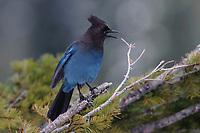 Adult Steller's Jay (Cyanocitta stelleri) calling. Pierce County, Washington. May.