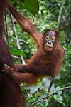 Infant Bornean Orang-Utan (Pongo pygmaeus) clinging to its mother. Camp Leakey, Tanjung Puting National Park, Kalimantan, Borneo.