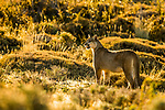 Mountain Lion (Puma concolor) female at sunrise, Torres del Paine National Park, Patagonia, Chile