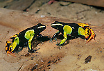 Painted Mantella Frogs (Mantella madagascariensis). Andasibe-Mantadia National Park, eastern Madagascar.