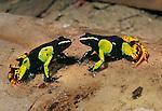 Painted Mantella Frogs (Mantella madagascariensis). Andasibe-Mantadia National Park, eastern Madagascar.