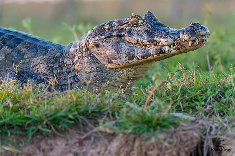 Yacaré Caiman (Caiman yacare) eyes a boat full of photographers, The Pantanal, Brazil.