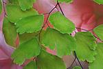 Maidenhair Fern, Adiantum raddianum, Delta Maidenhair Fern, Volunteer Park Conservatory, Seattle, Washington.