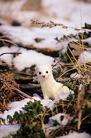 Ermine or short-tailed weasel (Mustela erminea).  Northern Rockies.  Nov.