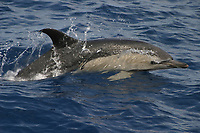 short-beaked common dolphins, Delphinus delphis, Azores Islands, Portugal, North Atlantic Ocean