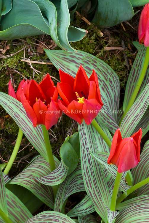 Tulipa gregii Red Riding Hood with variegated leaves spring bulb tulips, red flowers