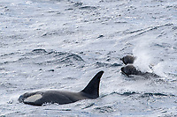 killer whale or orca, Orcinus orca, Type B killer whale, Gerlache Strait, Antarctica, Southern Ocean