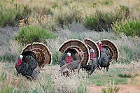 4 Wild Turkeys strut for a hen, Pryor Mountains, Wyoming
