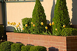 Tulips and Bushes