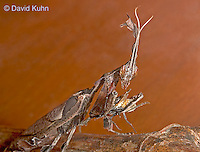 "0407-07mm  Ghost Mantis - Phyllocrania paradoxa ""Adult Male"" - © David Kuhn/Dwight Kuhn Photography"