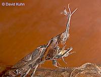 "0407-07mm  Ghost Mantis - Phyllocrania paradoxa ""Adult Male"" - © David Kuhn/Dwight Kuhn Photography"