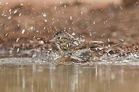 578820043 a wild lincoln's sparrow melospiza lincolnii bathes in a small waterhole on santa clara ranch hidalgo county rio grande valley texas united states