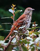 Brown thrasher adult
