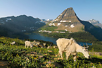 Mountain Goat (Oreamnos americanus) nanny and kid near Hidden Lake and Bearhat Mountain in Glacier National Park, Montana.  Summer.