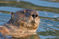 Enhydra lutris nereis, Sea otter, A sea otter, looking at the photographer as it forages for food in Elkhorn Slough,, Elkhorn Slough National Estuarine Research Reserve, Moss Landing, California, USA