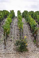 Vineyard. Chateau Malartic Lagraviere, Pessac Leognan, Graves, Bordeaux, France