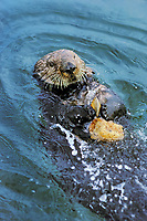 Sea otter using tool--cracking clam on rock.  California.