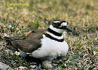 1K11-002z  Killdeer - adult sitting on eggs - Charadrius vociferus