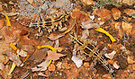 A pair of thorny devils disappear in their earthtoned surroundings, Northern Territory, Australia