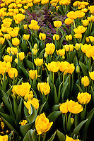 A bed of yellow tulips blooming in downtown Charlotte.