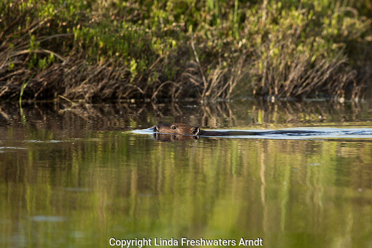 North American beaver swimming in a northern Wisconsin lake