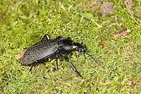 Lederlaufkäfer, Leder-Laufkäfer, Lederkäfer, Carabus coriaceus, leatherback ground beetle, leather beetle