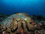 Orchid Island, Taiwan -- Brain coral on a reef.