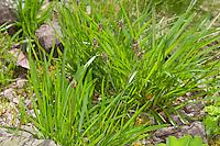 Berg-Wegerich, Bergwegerich, Plantago atrata, Dark plantain, Black plantain
