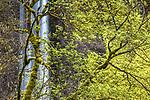 Bigleaf maple (Acer macrophyllum) and Latourell Falls, Guy W. Talbot State Park, Oregon, USA