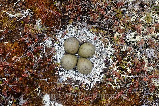 Black Turnstone ( Arenaria melanocephala) nest lined with lichens. Yukon Delta National Wildlife Refuge, Alaska. June.