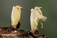 AM07-571z  Ambush Bug hatching from egg, Phymata americana