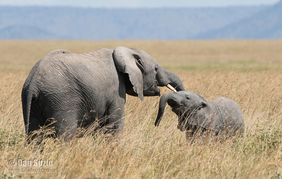 African Elephant mother and calf, Loxodonta africana, in Serengeti National Park, Tanzania