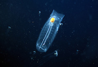 Tunicate or salp, Salpa maxima, was photographed in a sea filled with tiny jellyfish and ctenophores. Thailand.