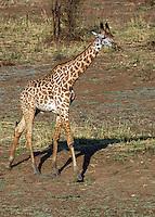 Baby giraffe in South Luangwa Valley, Zambia Africa.
