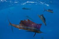 pelagic Atlantic sailfish, Istiophorus albicans or platypterus feeding on sardines that they have broken off from the small bait ball in background, Yucatan Peninsula, Mexico (Caribbean Sea) (de) near Contoy Island, Isla Mujeres, Cozumel, Cancun