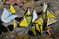Butterflies at the river Phnom Kulen, Cambodia