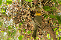 Verdin, Auriparus flaviceps, at its nest in the Riparian Preserve at Water Ranch, Gilbert, Arizona