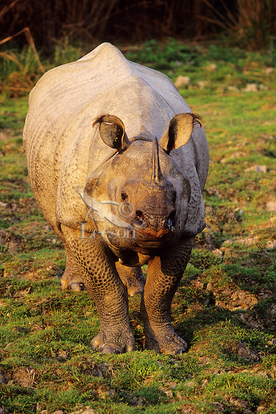 Indian or Asian one-horned Rhinoceros (Rhionoceros Unicornis) India.