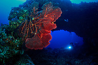 Scuba divers explore a submarine arch found in the Witu Islands off New Britain Island, Papua New Guinea. A huge red gorgonian coral decorates its entrance.