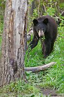 Black Bear walking through the forest