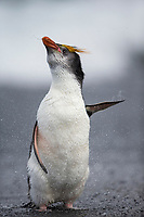 Royal Penguin (Eudyptes schlegeli), adult shaking off after coming out of the surf at Sandy Bay, Macquarie Island, Australia.