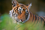 Seen through the screen of tall elephant grass, an adolescent Bengal tiger indulges in a customary mid-day repose.