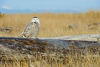 Snowy Owl (Bubo scandiacus) roosting on coastal driftwood. Grays Harbor County, Washington. December.