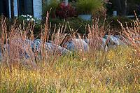 Little Bluestem grass (Schizachyrium scoparium) in reddish fall color in midwest meadow garden, Chicago