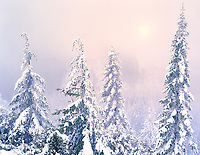 Four trees after heavy snowfall. Siskyou National Forest, Oregon.