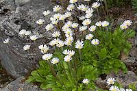 Alpen-Maßliebchen, Alpenmaßliebchen, Alpenmasslieb, Alpenmaßlieb, Alpen-Maßlieb, Alpen-Gänseblümchen, Aster bellidiastrum, Bellidiastrum michelii, daisy star, daisy-star, daisy-star aster