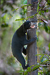 Bornean Sun Bear (Helarctos malayanus euryspilus) climbing at tree trunk at Bornean Sun Bear Conservation Centre (BSBCC), Sepilok, Sabah, Borneo. The world's smallest bear species.