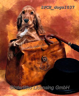 Xavier, ANIMALS, REALISTISCHE TIERE, ANIMALES REALISTICOS, dogs, photos+++++,SPCHDOGS1037,#a#, EVERYDAY