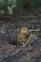 Burrowing Owl stands guard over the nest, a hole in the ground.